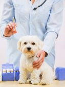 Veterinary treatment - vaccinating the Maltese dog poster