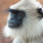 Common langur in Bandipur National Park India. poster