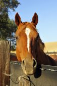 A California ranch horse is curious about life outside the corral poster