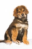 little security guard - red puppy of Tibetan mastiff sitting on snow. isolated white background poster