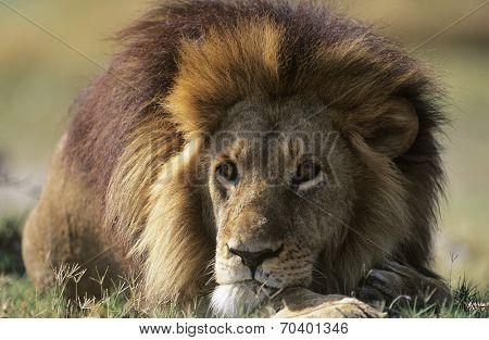 Male Lion lying on savannah poster