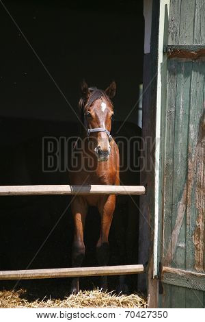 Nice thoroughbred horse in the stable door poster