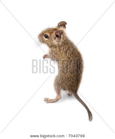Common Degu, Brush-tailed Rat, Octodon Degus