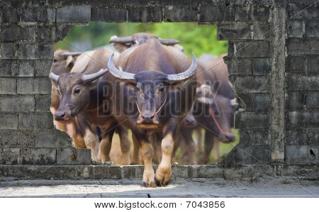 Group Of Cows And Buffalos