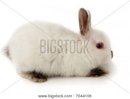 Dwarf Rabbit, Oryctolagus Cuniculus