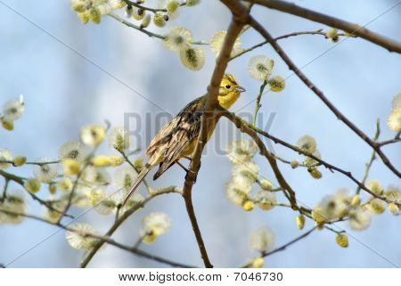 Spring yellowhammer