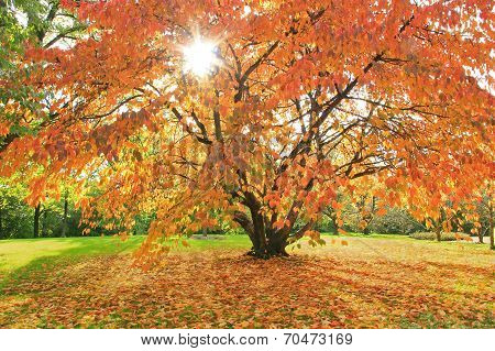 Autumnal Cherry Tree In The Park, Natural Scenery With Bright Sunshine