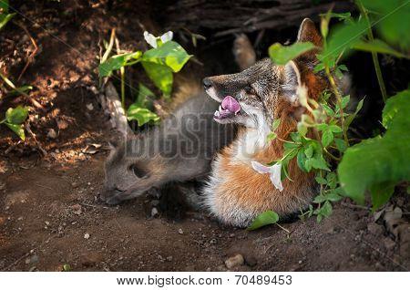 Grey Fox (urocyon Cinereoargenteus) Vixen And Kit In Den