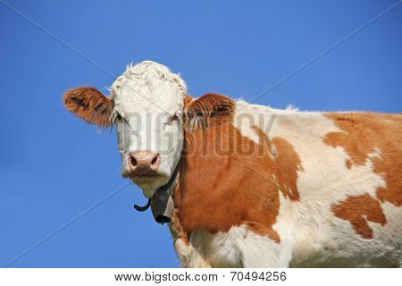 Milk Cow Against Blue Sky