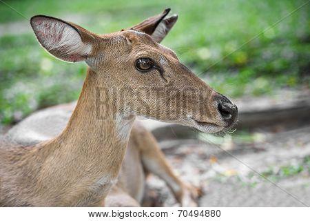 Young Eld Deer