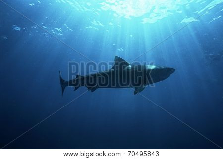 Aliwal Shoal, Indian Ocean, South Africa, dusky shark (Carcharhinus obscurus), low angle view poster