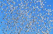 Flock of migrating birds poster