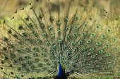 Peacock displaying feathers poster