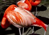 Flamingos taking a nap in sunny Florida poster