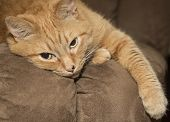 Lazy ginger cat resting on brown couch poster