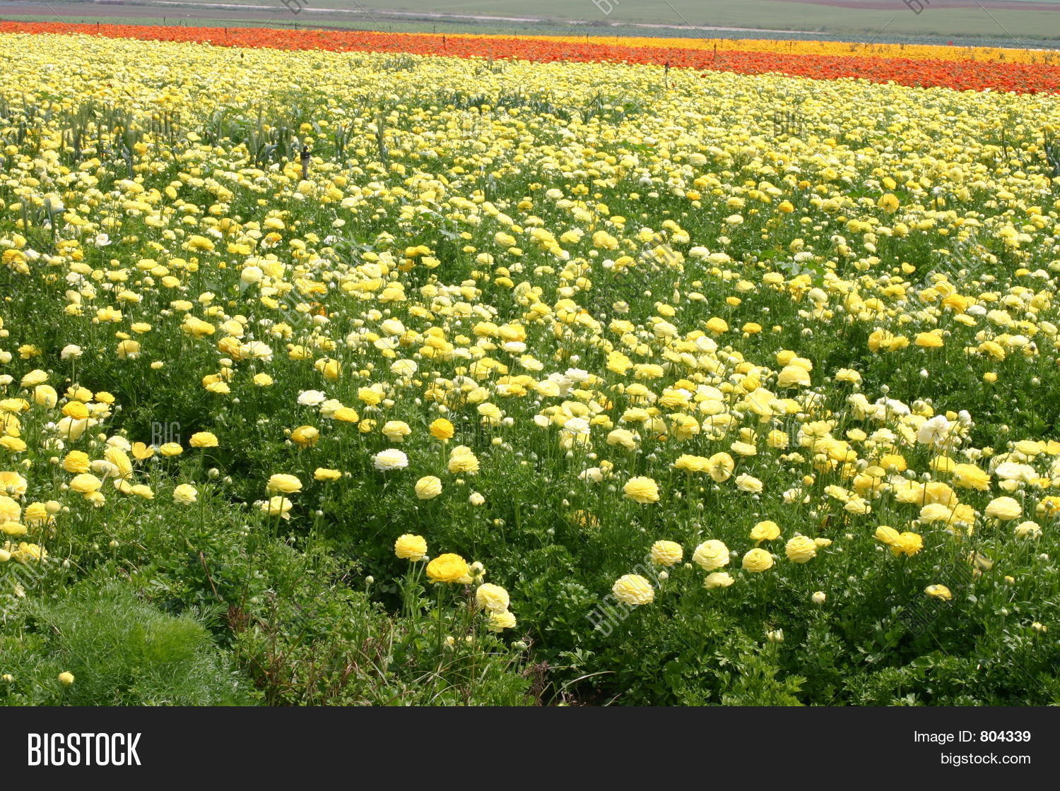 Carpet Yellow Roses Image Photo Free Trial Bigstock