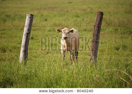 Calf in a Field