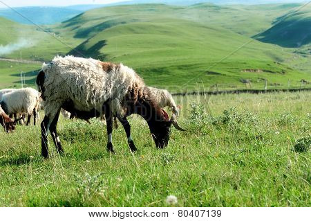 Sheep eat grass