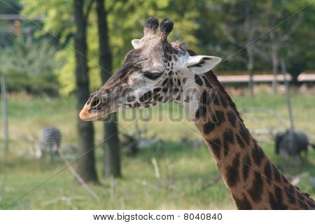 Giraffe eating in the wild