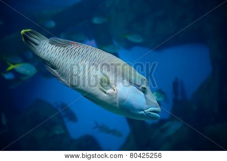 Fish Wrasse