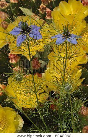 Bright yellow flowers of cacti