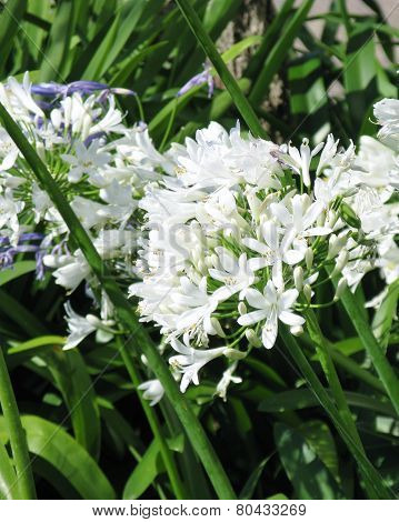 Agapanthus or lily of the nile