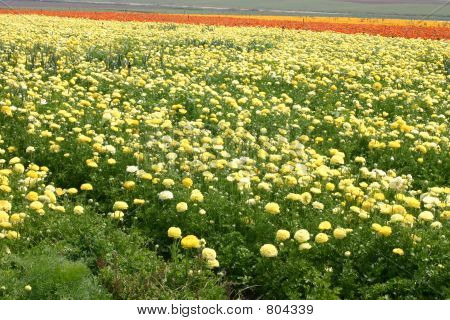 Carpet Of Yellow Roses