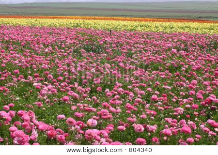Field Of  Pink Roses