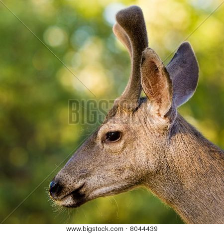 Blacktail Stag Profile
