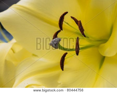 Petals, stigma and anthers of a yellow lily