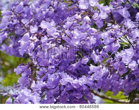 The trumpet shaped flowers of the Jacaranda