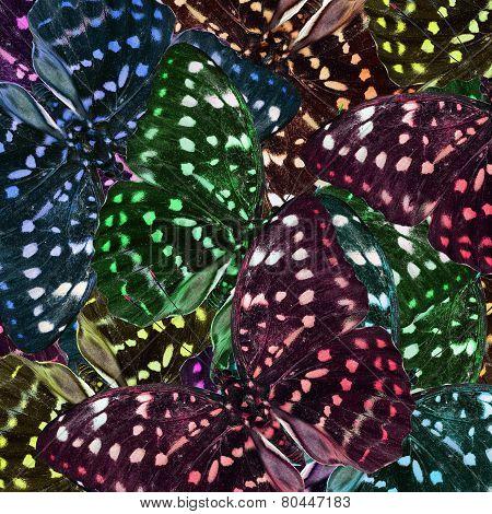 Exotic Colorful Background of Great Archduke Butterflies