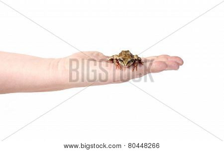 Little frog on a female palm isolated on white background poster