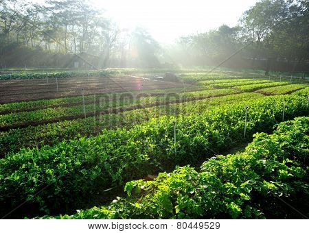 green pea and celery plants in growth at vegetable garden