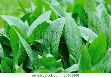 Stock Photo: Green indian lettuce in growth at vegetable garden