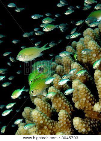 Bluegreen chromis