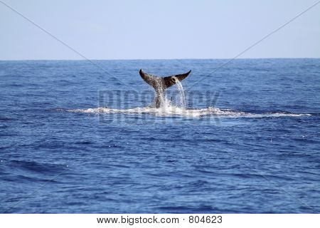 whale rising it's tail poster