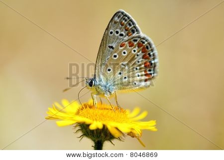 Bläulinge (Lycaenidae)