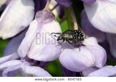 ein Käfer auf Blume