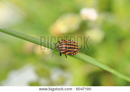 ein schwarz und rot gestreiften bug