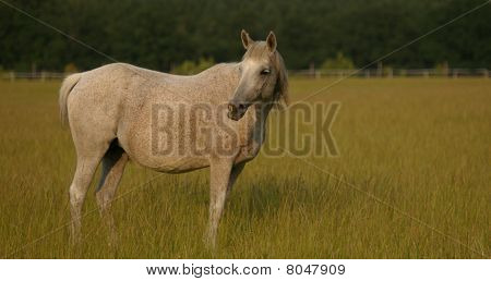 Grey mare in pasture looking for her foal