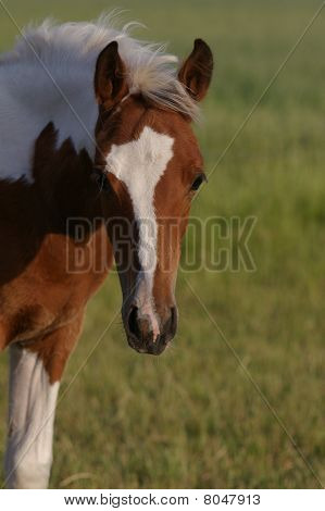 head of brown white paint horse foal