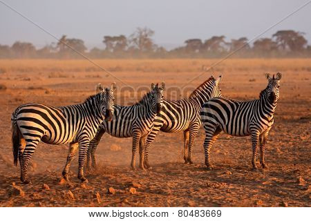 Plains zebras (Equus burchelli) in early morning dust, Amboseli National Park, Kenya