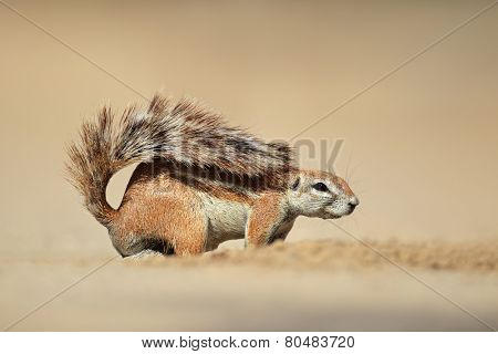 A ground squirrel (Xerus inaurus), Kalahari desert, South Africa