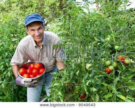 Happy Man Picking Tomatoes In His Vegetable Garden