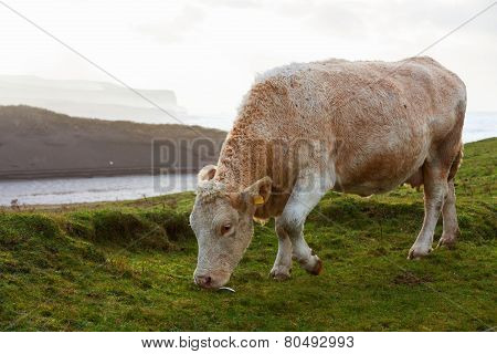 Cows grazing in the field on the west coast of Ireland.