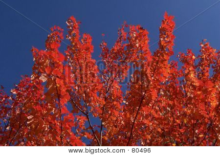 Flaming Leaves