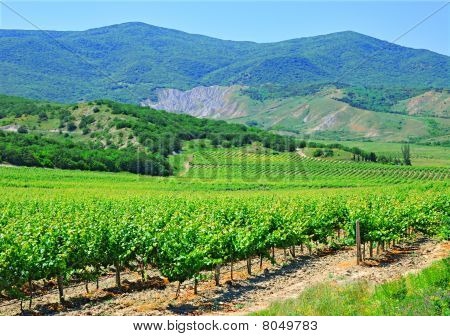 A Plantation Of Grapevines, Mountains And Blue Sky