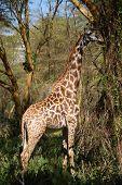 Maasai Mara giraffe eating from a tree poster