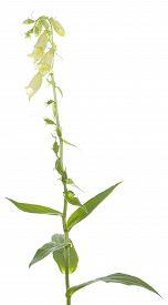 Digitalis Grandiflora